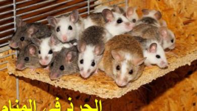 Photo of الجرذ في المنام